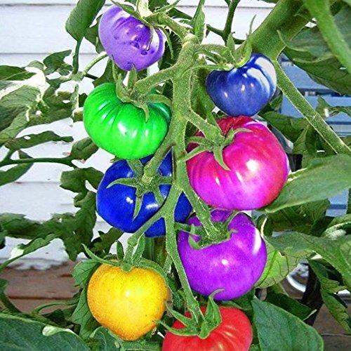 KINGDUO Egrow 100Pcs Arcoiris Semillas De Tomate Colorido Bonsai Verduras Orgánicas Y Frutas Semillas De Jardín Casero