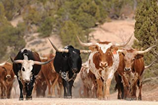 Herd of Texas Longhorn Cattle in Southern Utah Mountains Photo Art Print Cool Huge Large Giant Poster Art 54x36