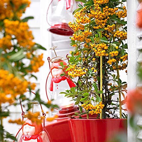 Keland Garten - 50pcs duftend Rarität Feuerdorn 'Soleil d'Or' bienenfreudlich- Kletterpflanze Immergrün mit gelben Beeren, Baumsamen Blumensamen winterhart mehrjährig als Heckenpflanze