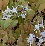 Elfenblume - Epimedium grandiflorum