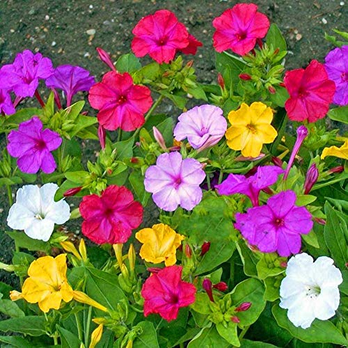 Mirabilis Jalapa Seeds 10+ (Four O'Clock Flower) Couleurs mélangées pour Home Garden Outdoor Yard Farm Planting