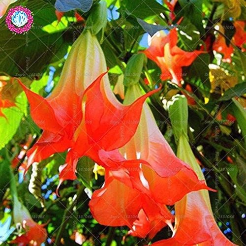 50PCS Datura Fleur Bonsai Graines Gardenia Facile Cultivating vivaces plantes en fleurs pour la maison Balcon Jardin Cour 3