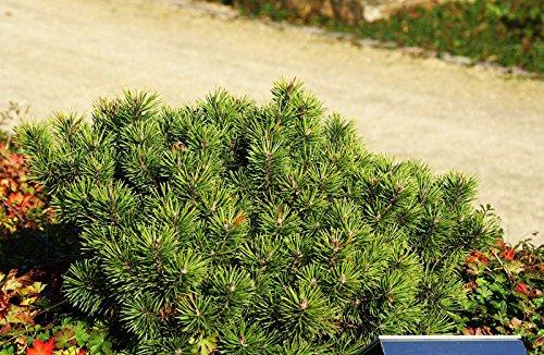 Zwerg-Kiefer Pinus mugo pumilio Containerware 20-25 cm