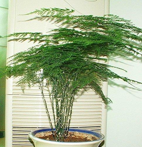 5 graines / pack Asperges Graines Plantées Grown Graines Intérieur Balcon facile de planter Cinq Saisons Jardin Décoration Bonsai Fleur