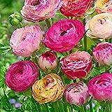 15x Ranunculus asiaticus'Peony Blend' | Ranunkeln Zwiebeln | Blumenzwiebeln mehrjährig winterhart | Ø 8cm