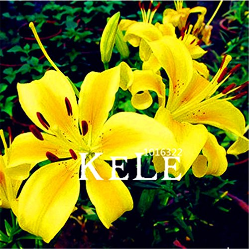 Date limite de 100 graines Une plantes de graines de fleurs Lot Lily graines bonsaï fleurs faciles à cultiver 20