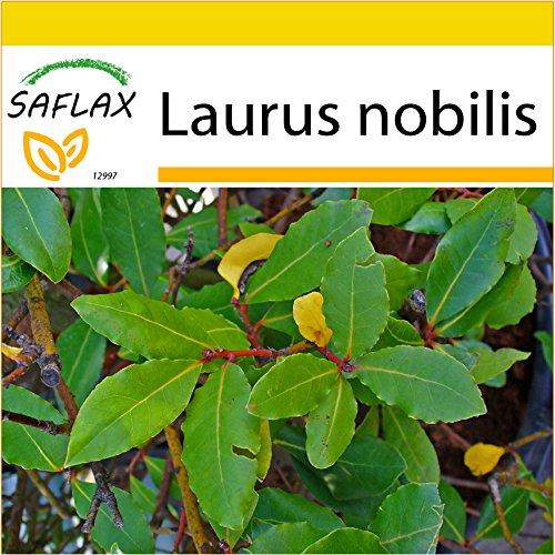 SAFLAX - Set de cultivo - Laurel de Apolo - 6 semillas - Laurus nobilis