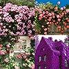 Cioler Seme di fiore- 100pcs Piante rampicanti del profumo Semi variopinti del fiore di Cress della roccia fiori ornamentali per Muro, casa, balcone, lungo la strada, giardino #1