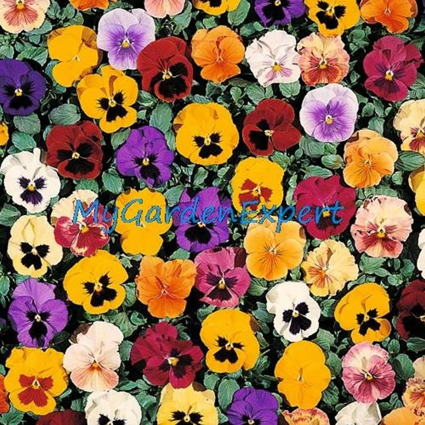 50pcs/lot Mix-color Tricolor Viola Pansy Seed Herbs Trinity Petite Mix Flower Seeds Home Garden Bonsai Seeds Plant