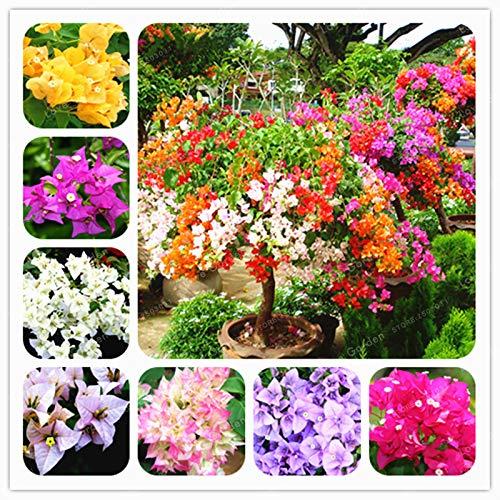 SEMILLAS Kalash Nueva 100pcs, flor Buganvilla para jardinería mezclada 1
