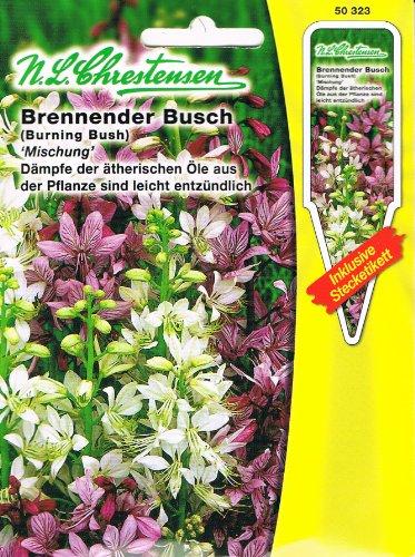 Brennender Busch 'Mischung' Schmuckstaude ( mit Stecketikett) 'Dictamnus albus'
