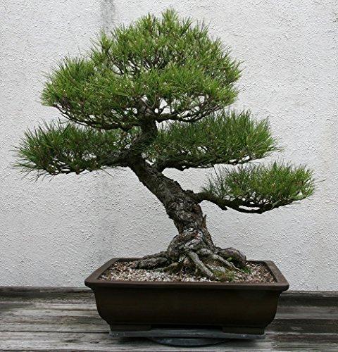 Pinkdose 15 Seeds Pinus Thunbergii (Japanese Black Pine) Bonsia