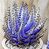 Adolenb Seeds House- 100pcs rares graines d'aloès, plantes ornementales succulentes robustes vivaces fleurs coupées colorées graines de fleurs de bonsaï pour balcon, jardin