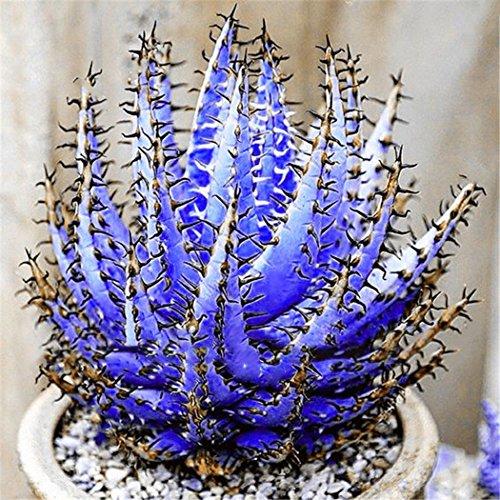 Keptei Samenhaus- 100 Korn Selten Riesen Aloe Vera (Aloe barbadensis) Samen Zierpflanze Zimmerpflanzen Erste-Hilfe-Pflanze Bonsai saftig mehrjaehrig (Lila)