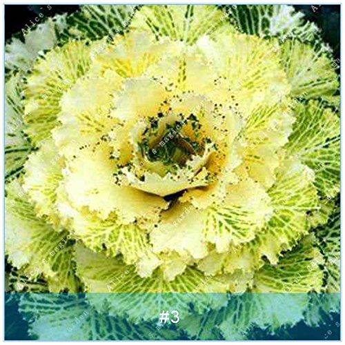ZLKING 100pcs Kale Semences potagères Graines Bonsai plantes non Ogm géants Graines de légumes biologiques exotiques Plantes ornementales Jardin 3