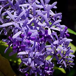 20 Seeds Petrea volubilis Queens Wreath Vine Home Garden tkyeg