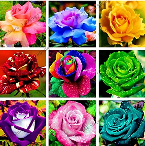 Priyathams Imported Nine Types Of Beautiful Rose Flower Plant Seed 30 Per Packet Amazon In Garden Outdoors