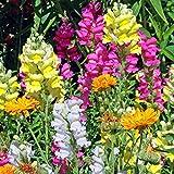 xinduo estivi semi,semi di fiori di bocca di leone della pianta facile-0,25 kg,semi per piante da giardino