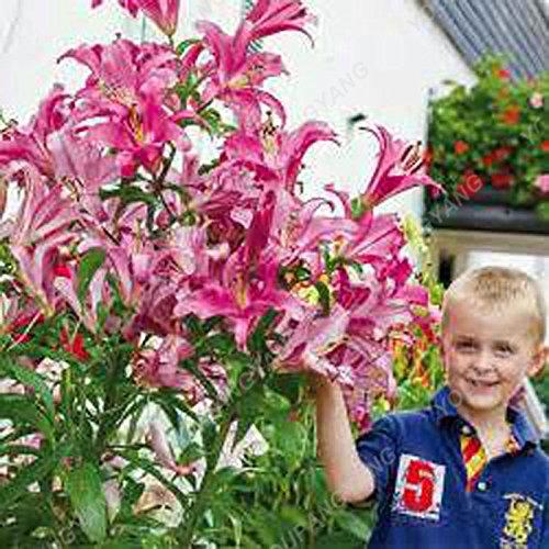 Promotion!! 100 pcs/sac géant Lily Graines pas cher Lily Graines de fleurs Barbade Lily en pot Graine Bonsai Balcon Fleur Livraison gratuite Blanc
