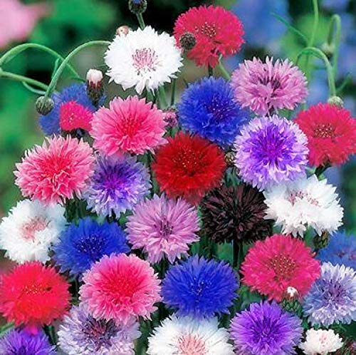 Eastbride Balkonkasten Samen,500 Tannenzapfen-Chrysanthemensamen, mehrjährige kälteresistente Gartenblumensamen-Kornblume mit Frühlingssamen,Samen für Balkon/Garten