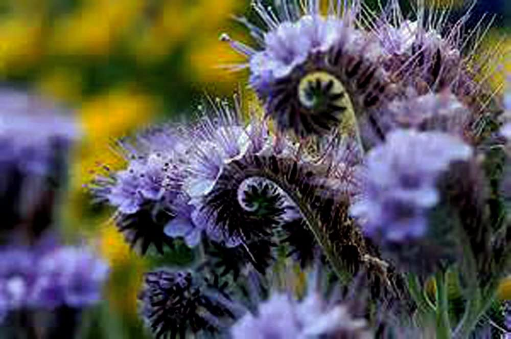 200+ Lacy Phacelia Flower Seeds Creek Inexpensive Ultra-Cheap Deals Tansy LLC Country Purple