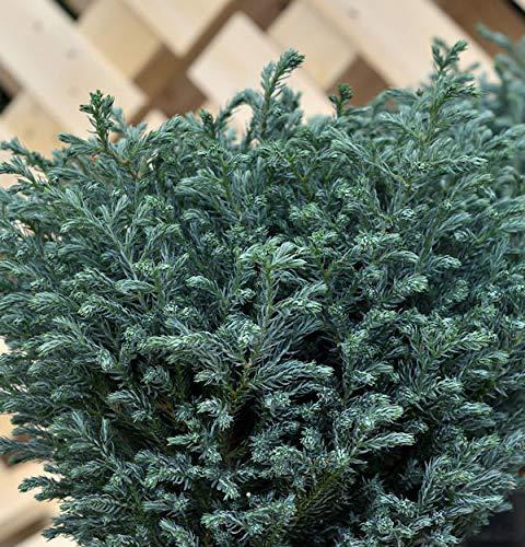 Hochstamm Scheinzypresse Blue Moon® 40-60cm - Chamaecyparis pisifera