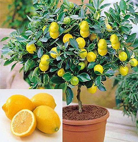 Lemon Tree Seeds, 20 Seeds ,Grow a Delicious Fruit Bearing Bonsai Tree - Ships from Iowa.