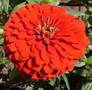 David's Garden Seeds Flower Zinnia Solid Color Will Rogers 8343 (Multi) 200 Non-GMO, Heirloom Seeds