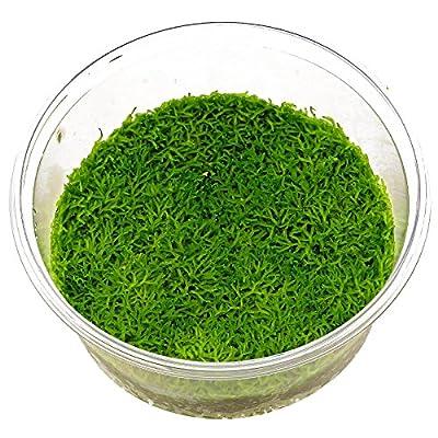 Riccia fluitans Moss Live Tropical Aquarium Moss Carpet Plants 80cc Cup