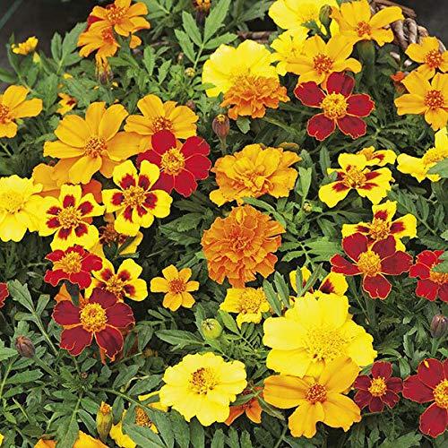 Disco Mix Marigold Samen, Tagetes patula, 50 oder mehr Samen Pro Paket