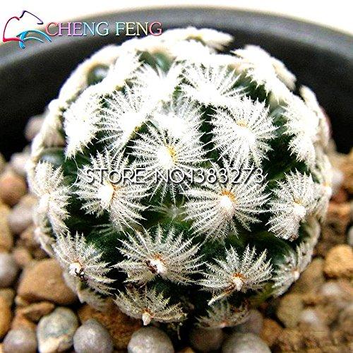 Semillas 2016 de la venta 50pcs carnosas de la planta suculenta de Lithops Stone Flower Seed Bonsai Maceta de cactus Plantas Mini decoración de la nave libre