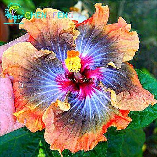 Environ 100 Pieces / Lot géant Graines Hibiscus Flower Garden & Home vivaces en pot Plantes Fleurs Okra Hibiscus Bonsai Graines de gazon