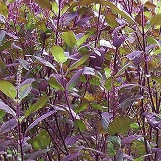 Krishna Tulsi Basil Seeds (Ocimum Sanctum) 50+ Rare Medicinal Herb Seeds