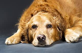 Best golden retriever calgary Reviews