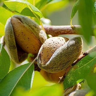 人気果樹!アーモンドの苗木【品種で選べる果樹苗木 2年生 接木苗 15cmポット 平均樹高:60cm/1個】(ポット植えなのでほぼ年中植付け可能)花は桃の花に似ていて美しいです。 春になると花が楽しめ、夏には食べて楽しめる果樹です。 アーモンド...