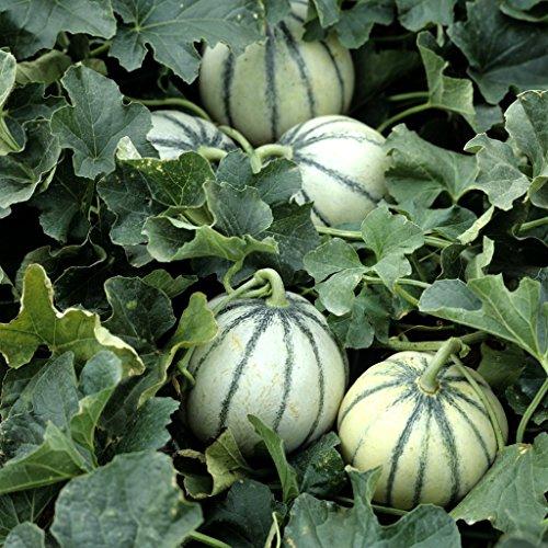 Graine de melon charentais (2,5 grammes)