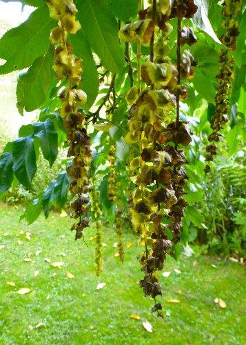 Tropica - Kaukasische Flügelnuss (Pterocaya fraxinifolia) - 15 Samen