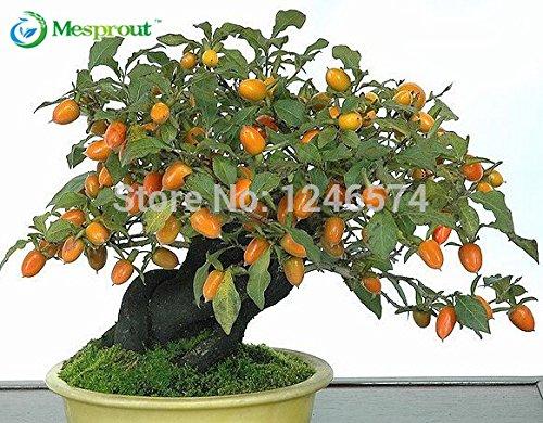 20 semillas de caqui, Diospyros kaki, exótico Bonsai, Hermoso y deliciosa de la fruta del árbol, semillas de frutas