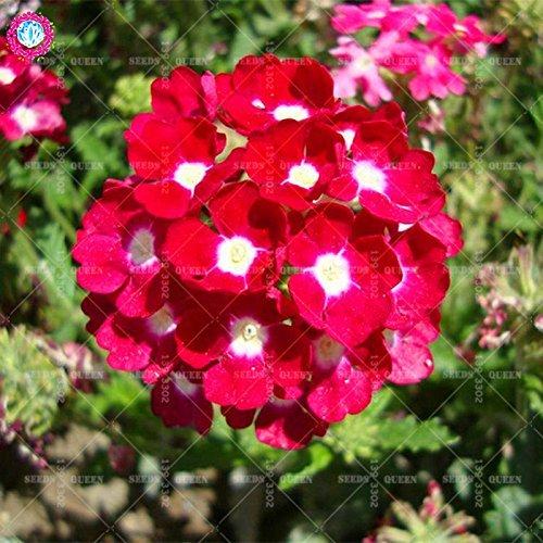 Variété rare! 100 pcs / sac verveine graines plante herbacée hybride vivace en pot Maison et jardin 95% fleurs bonsaï taux de germination 3