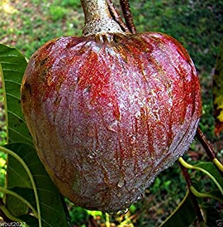 Red Custard Apple Tree (10 Seeds) AKA Bullock's Heart, Jamaican Apple ! Rare