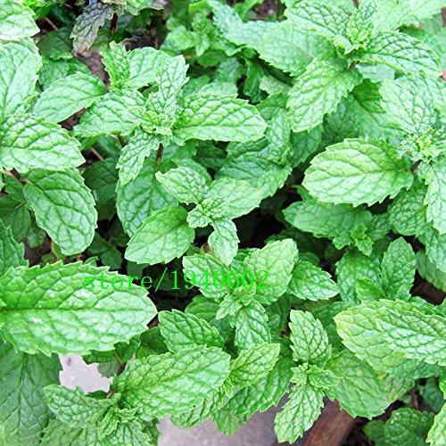 Graines Graines de plantes aromatiques menthe naturelle de menthe poivrée verte Spice plantes Balcon Fleurs en pot Série Chambres 200PCS
