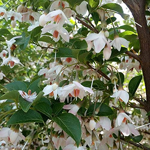 Eantpure Semillas de macetas de Flores,Jardinería de Semillas de Yu Linghua-Yu Linghua_500g,perenne Resistente Semillas