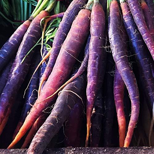 ca. 500 Samen Karotte Cosmic Purple - frühe, violette Sorte