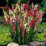 50x Ixia | Mix di bulbi di fiori colorati | Bulbi a fioritura estiva | Fiori da Balcone e Giardino | 5 cm