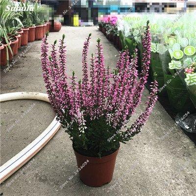 Happy Farm gypsophile Etoiles Sky Seed Hybrids Flower Seed jardin décoratif Aménagement paysager, Plante vivace Fleur 150 Pcs 11