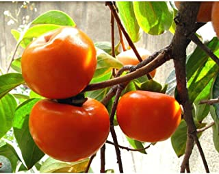 Jiro Fuyu Japanese Persimmon Fruit Tree 3-4 Feet Height in 3 Gallon Pot #BS1