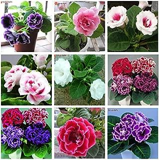 SALE! 9 Colors Can Be Choose Gloxinia Seeds Perennial Flowering Plants Sinningia Speciosa Bonsai Balcony Flower - 100 PCS