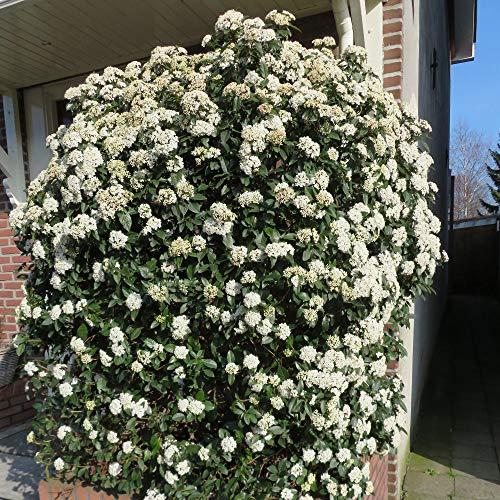 Viburnum tinus | 3er Set Mittelmeer Schneeball | Immergrün | Weiße Blüte | Höhe 15-25cm | Topf-Ø 17cm