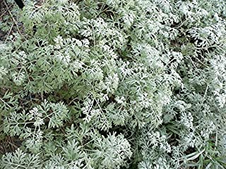 500 ABSINTHE WORMWOOD Common Artemisia Absinthium Green Ginger Herb Flower Seeds