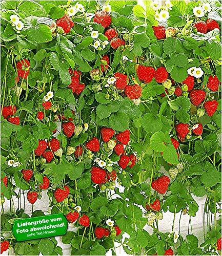 BALDUR Garten Hänge-Erdbeere Hummi®, 3 Pflanzen Fragaria rankend